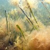 Virginia fouled seagrass (slider image)