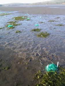 ASUs (artificial seagrass untis) deployed in Bodega harbor for one of the UCD ZEN class experiments