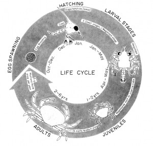 Life cycle of the Dungeness crab