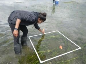 Marking experimental plots in the eelgrass bed in Vancouver, British Columbia