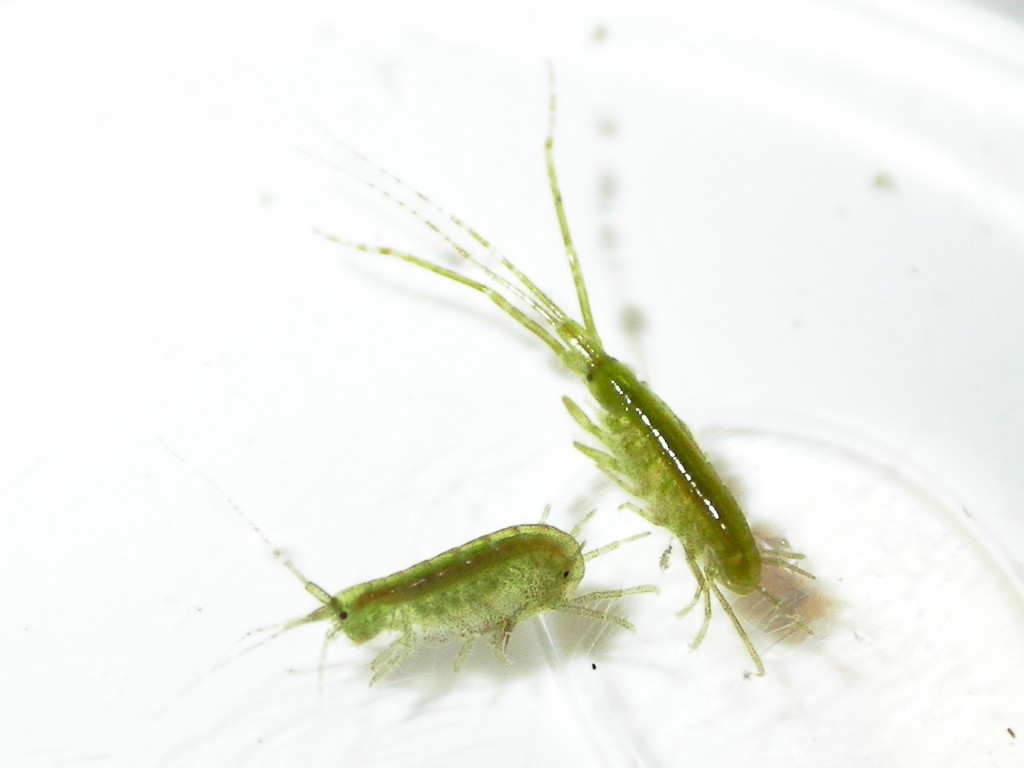 Algae-eating amphipods protect seagrass from overgrowth