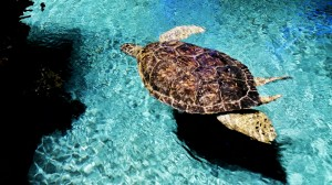 The National Aquarium's rescued and rehabilitated 3-flippered turtle